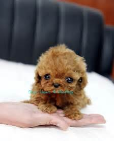 how much are teacup puppies teacup poodle puppy teacup poodles