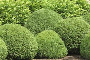 boxwood bush types what are some good buxus varieties to grow