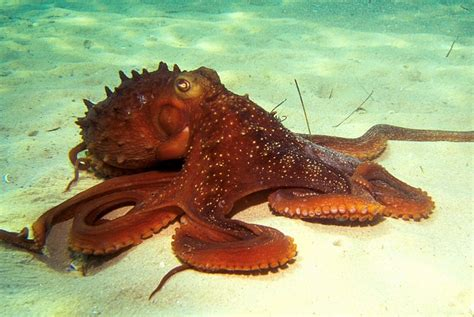 Octupus L by Octopus Vulgaris Habitat