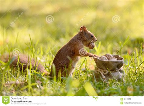 Holding The Nuts squirrel holding a bag with nuts stock photo image 61518916