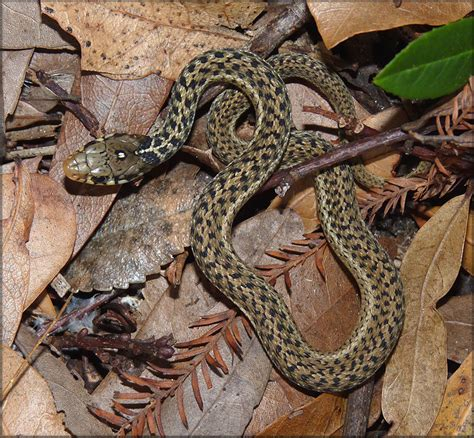 Garter Snake Juvenile Eastern Garter Snake Thamnophis Sirtalis Sirtalis Juvenile