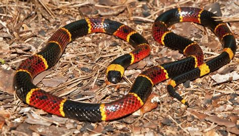 snake pattern red black yellow how to identify red black striped snakes sciencing