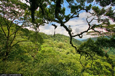 Trees With Canopy Tree Canopy At Tropical Rainforest In Costa Rica
