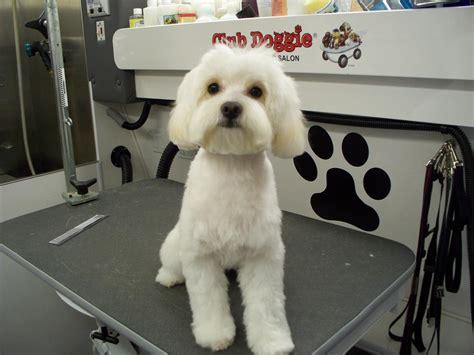 maltese puppy has wavy hair after first hhairas ir cut maltipoo haircut haircuts models ideas