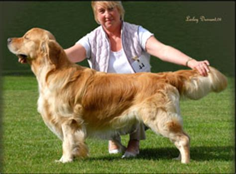stormerick golden retrievers ch show 2008 the golden retriever club