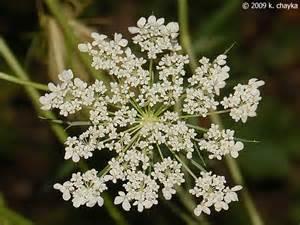 daucus carota queen anne s lace minnesota wildflowers