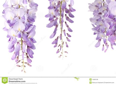 copy right free pictures of purple wisteria wisteria flowers stock photo image of blossom cluster 14063108