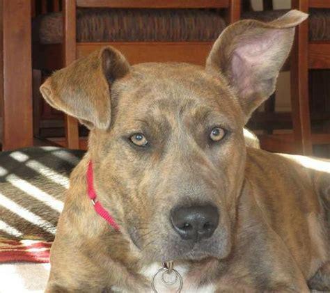puppy adoption st louis adopt a st louis rescue meet chantilly gateway pet guardians