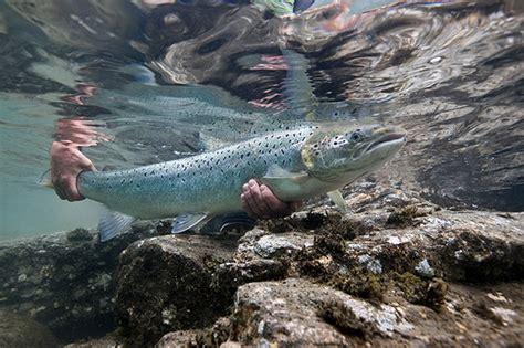 Hezzel Farm Salmon 90 S farm raised atlantic salmon