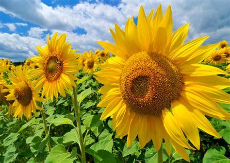 budidaya bunga matahari  baik  benar bawang