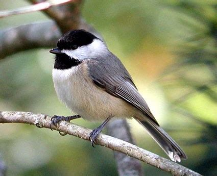 carolina chickadee identification all about birds