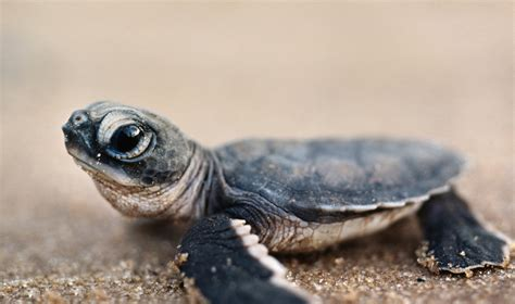 Cute Baby Sea Turtles   www.imgkid.com   The Image Kid Has It!