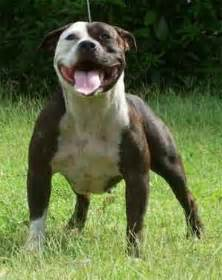 american pit bull terrier kennel club staffordshire bull terrier ferocious with other animals