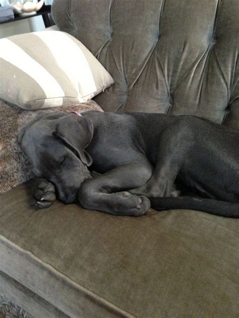 great dane on couch blue great danes curls and the o jays on pinterest