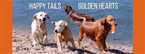 golden retriever puppies omaha ne golden retriever omaha dogs from turkey find new home thanks to golden retriever