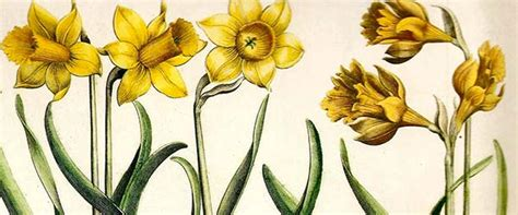 narciso fiore olio essenziale di narciso propriet 224 e benefici