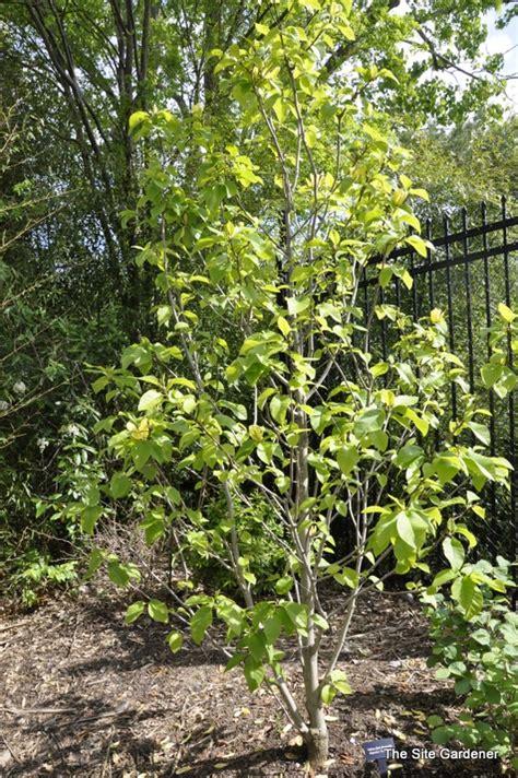 Fragrant Flowering Plants - magnolia x yellow bird the site gardener
