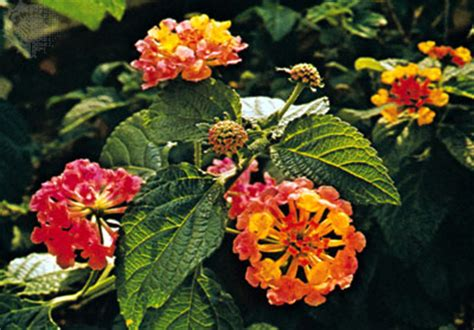 is lantana poisonous to dogs lantana toxic tuesdays a weekly guide to poison gardens britannica