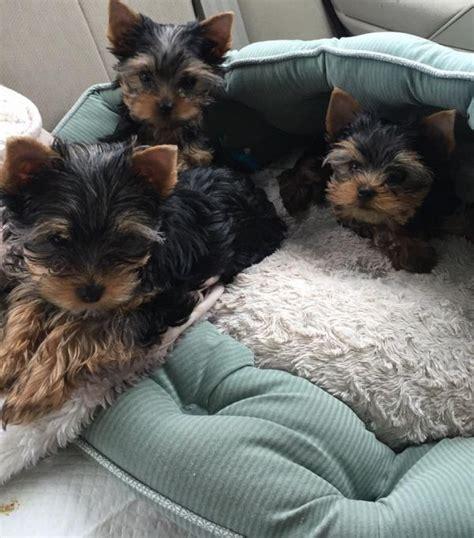 malefemale yorkie puppies  sale