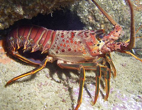 the lobster animal lobster
