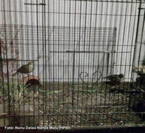 Pakan Branjangan Bahan sukses menangkar burung branjangan ala om napsun