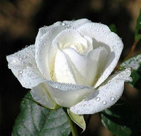 white meaning what is the meaning and purpose of white roses wintery