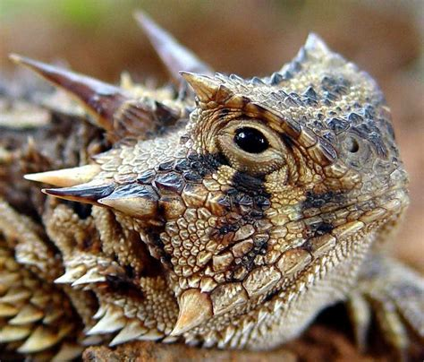 how to catch a toad in your backyard thorny devil lizard creature references pinterest
