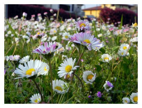 immagini di prati fioriti prati fioriti foto immagini piante fiori e funghi