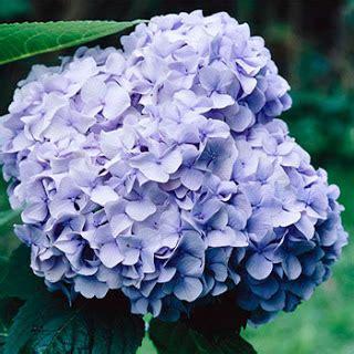 Tanaman Blue Mophead Hydrangea jual bunga murah archives toko bunga jakarta bunga meja bunga tangan bunga papan