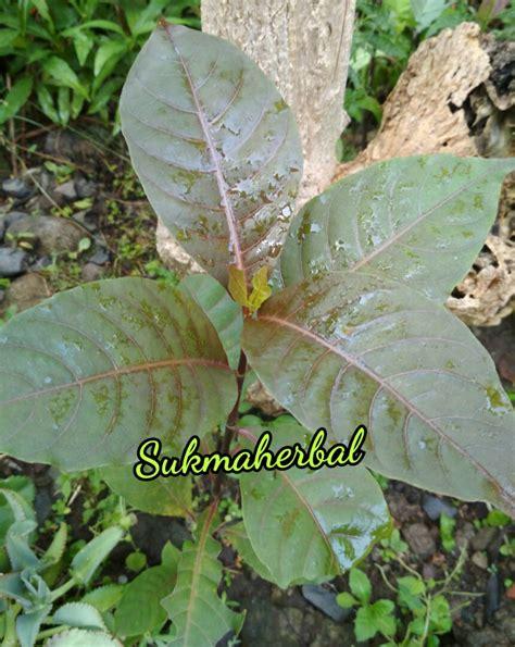 Bibittanaman Herbal Som Jawa Ginseng Jawa sukmaherbal barang untuk dijual di carousell