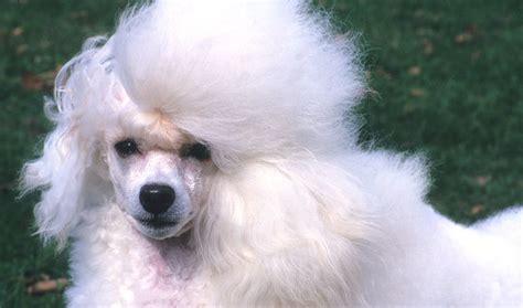 average mini poodle lifespan poodle breed information