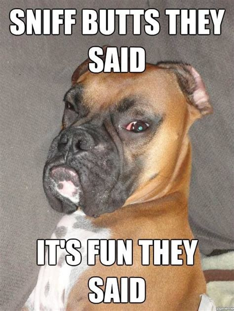 Funny Boxer Dog Memes - pin by teresa coats on i love boxer dogs pinterest