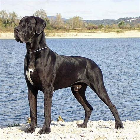 black great dane puppy saved by dogs look out reindeer if great danes learn to fly