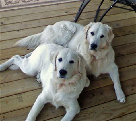 white oak golden retrievers puppy homes