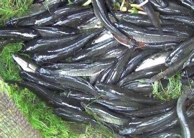 Bibit Ikan Gabus cara budidaya ikan gabus kolam terpal yang mudah dan murah