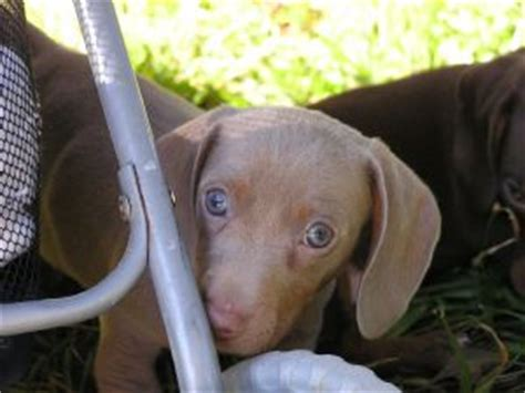solid blue dachshund puppies for sale dachshund puppies in louisiana