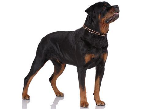 chion rottweiler rottweiler tout sur cette race de chien