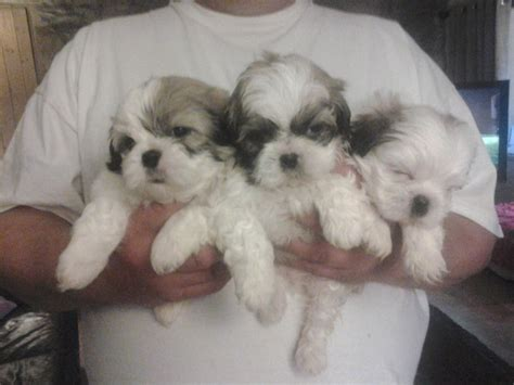 shih tzu puppys for sale 3 pedigree shih tzu puppies for sale caernarfon gwynedd pets4homes