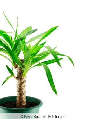 yucca palme schlafzimmer palmenpflege schneiden 220 berwintern hilfe bei braunen