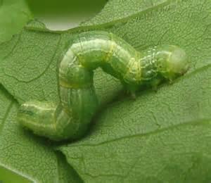 inch worm pollinators inchworms more little known pollinators