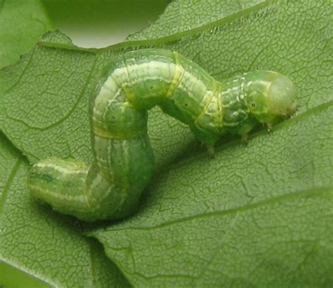 inch worm pollinators inchworms more little known pollinators