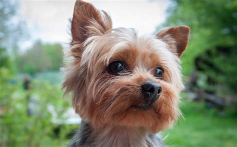 big yorkie breed 7 things we bet you didn t about terriers american kennel club
