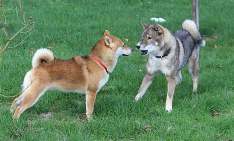 shikoku puppies shikoku breed information and images k9 research lab all dogs