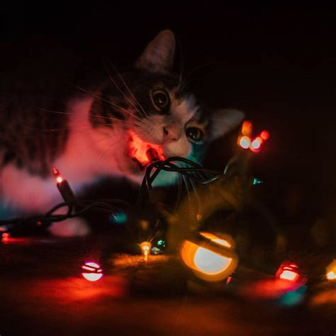 my cat trying to eat the christmas lights aww