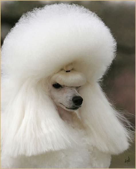 poodle haircuts pictures pictures of haircuts of poodle mix dogs dog breeds picture