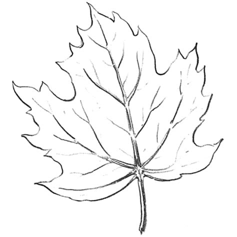 Drawing Leaves by How To Draw Maple Leaves Easy Leaf Step By Step Drawing