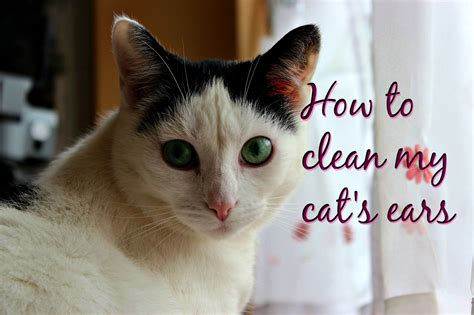 how to clean my s ears how to clean my cat s ears fluffy