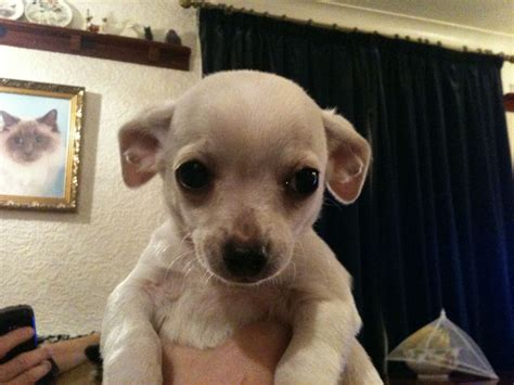 tiny teacup puppies tiny teacup chihuahua puppies for sale namibia breeds picture