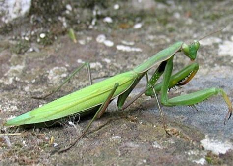 insetto stecco alimentazione entomologia agraria mantide religiosa