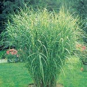 zebra grass beautiful gardens pinterest